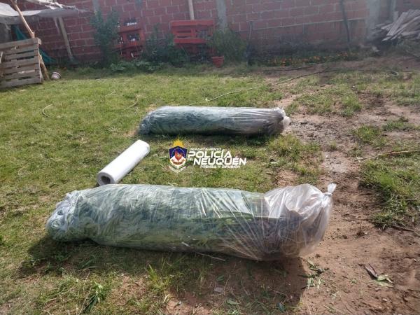 Secuestraron en Plottier más de 50 plantas de cannabis sativa